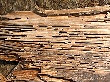 Holzschadling Wikipedia