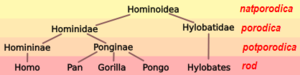 Hominoid taxonomy 3 hr.PNG