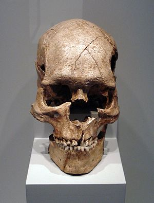Skull of the fossil Homo sapiens sapiens from ...