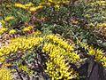 Homoranthus prolixus.jpg