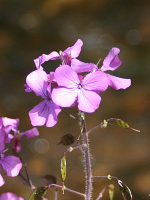 English: Honesty (Lunaria annua L.)