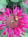 Honey bee on beebalm.jpeg