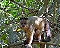 Hooded Capuchin (Sapajus cay) (31705090596).jpg
