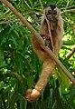 Hooded Capuchin (Sapajus cay) eating palm nuts.jpg