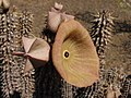 Hoodia gordonii (Apocynaceae - Asclepiadiideae) (4086829353).jpg