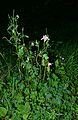 Horn-Bad Meinberg - 2014-06-06 - LIP-020 - Aquilegia vulgaris (6).jpg