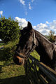 Horse at paddock gate in Stapleford Tawney, Essex, England.jpg