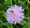 Hoverfly on scabius flower - geograph.org.uk - 1384250.jpg