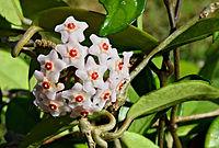 H. carnosa, porslinsblomma