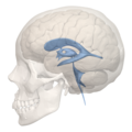 Human ventricular system - left side view.png