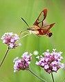 Hummingbird Moth (3782653271).jpg