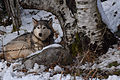 Husky de Sibérie 1.jpg