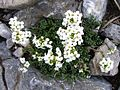 Hutchinsia alpina a5.jpg