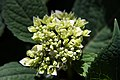 Hydrangea macrophylla Endless Summer 6zz.jpg