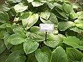 Hydrangea orto botanico milano 05.JPG