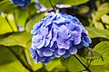 Hydrangea zomertuin.jpg