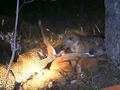 Hyenas Dominate a Leopard With a Kill Latest Wildlife Sightings HD 3.png