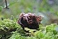 Hymenoscyphus fructigenus 26660839.jpg