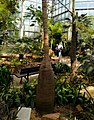 Hyophorbe lagenicaulis - Palmengarten Frankfurt.jpg