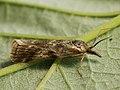 Hypochalcia propinquella (41215531791).jpg