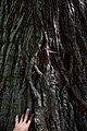 ID 609 Sequoiadendron bei Schloß Altenberg 0008.jpg