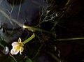 IMG 6310^ Ranunculus.jpg