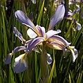 IMG 7820 Iris spuria.jpg