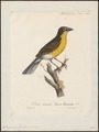 Icteria virens - 1825-1834 - Print - Iconographia Zoologica - Special Collections University of Amsterdam - UBA01 IZ16600285.tif