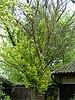 Iepziekte op goudiep (Ophiostoma ulmi on Ulmus hollandica 'Wredei' 4 May 2009).jpg