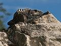 Iguana (4257548712).jpg