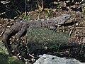Iguana - Quintana Roo - México 4.jpg