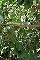 Iguana delicatissima in Coulibistrie l01.jpg