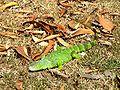 Iguana iguana Columbia 3.jpg