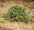 Ilex aquifolium 07 ies.jpg