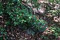 Ilex aquifolium fruits 2.jpg