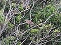 Ilha das Peças 2015 23 - Socó-boi.jpg