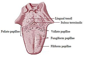 Lingual papillae - Anatomic landmarks of the tongue. Filiform papillae cover most of the dorsal surface of the anterior 2/3 of the tongue, with fungiform interspaced. Just in front of the sulcus terminalis lies a V-shaped line of circumvallate papillae, and on the posterior aspects of the lateral margins of the tongue lie the foliate papillae.