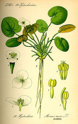Illustration Hydrocharis morsus-ranae0.jpg