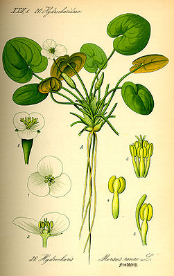 Froschbiss (Hydrocharis morsus-ranae), Illustration