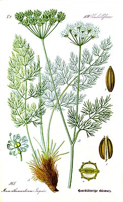 Bärwurz (Meum athamanticum), Illustration
