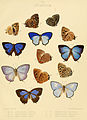 Illustrations of diurnal Lepidoptera British Museum Catalogue III.jpg