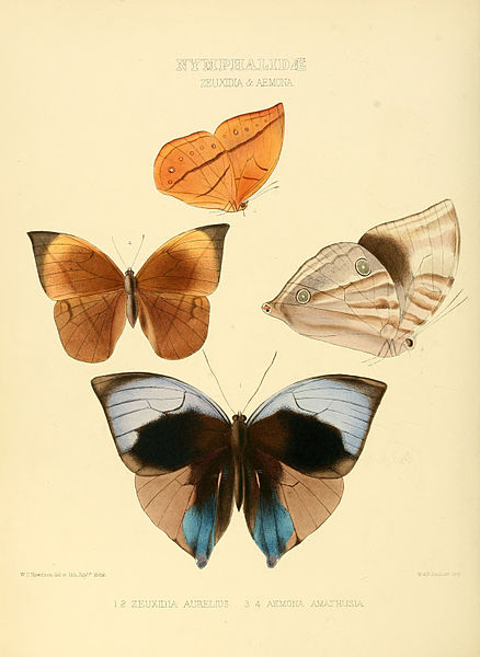 File:Illustrations of new species of exotic butterflies Zeuxidia & Aemona.jpg