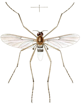 Imago of Blepharicera fasciata as Asthenia fasciata in Westwood 1842, plate 94.png