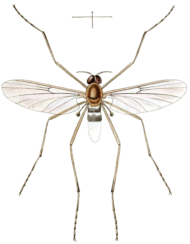 Imago of Blepharicera fasciata as Asthenia fasciata in Westwood 1842, plate 94