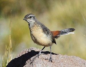 Drakensberg rockjumper - An immature Drakensberg rockjumper