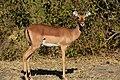 Impala, Ruaha National Park (5) (28743729855).jpg