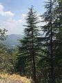 In the mountains, Deodhar trees.jpg