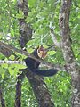 Indian giant squirrel.jpg