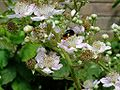 Insect bee 20070617 0069.jpg