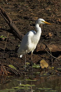 Intermediate Egret 02.jpg